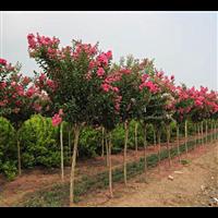 江西紫薇树、九江紫薇树