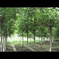 九江马褂木、九江马褂木树苗