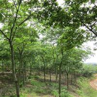 江西朴树-江西哪里有朴树
