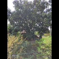 九江香泡/江西香泡-九江香泡树