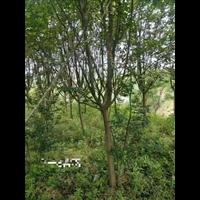 九江紫薇树,江西紫薇树/供应