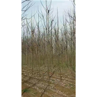 河南楸树种植基地电话