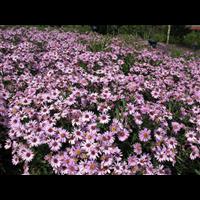 辽宁荷兰菊,东北荷兰菊