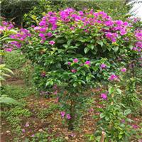 四川三角梅的种植方法