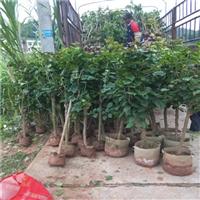 三角梅制作树冠与矮化技术