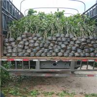 宜宾三角梅的水插繁殖方法