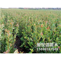 2020湖南三年生油茶苗最新价格