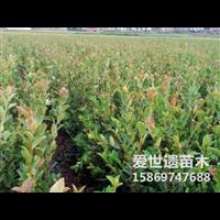 2020江苏三年生油茶苗全新价格