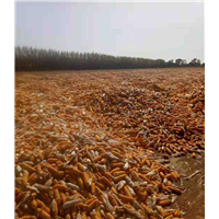 玉米 高粱