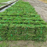 广州草坪基地