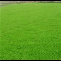广州草坪种植