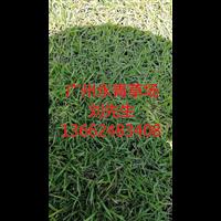 广州学校专用草