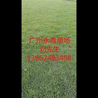 广州台湾草