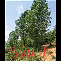 江西马褂木