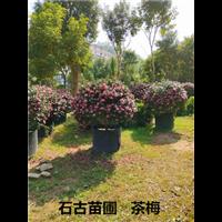 茶梅基地漳州