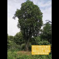 广西银杏树-广西桂花树-钦州桂花树