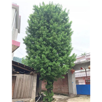 广西银杏树基地-广西桂林树基地