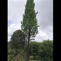 广西银杏树1-广西银杏树2-广西银杏树