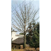 广西银杏树价格-广西银杏树批发