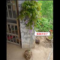 20公分紫藤价格