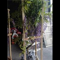 紫藤苗价格