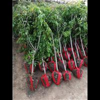 江苏紫藤树种植基地