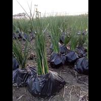 江苏水生植物价格