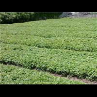 沭陽共享園林直銷爬藤植物爬墻虎藤苗價格趨勢
