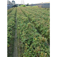 沭阳共享园林直销油麻藤树苗植株健壮生长旺盛