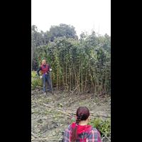 江蘇攀援植物油麻藤開花了