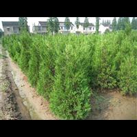 10公分20公分蜀檜小苗種植基地