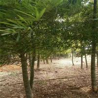 沭陽龜甲竹種苗種植基地