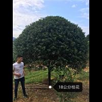 18公分桂花树(广西桂花树基地)