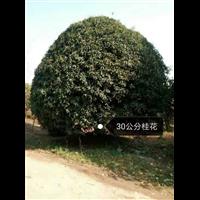 30公分桂花树☎桂林桂花树基地