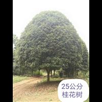 广西桂花树基地_广西桂花树批发
