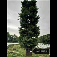 108公分银杏树(广西大银杏批发)