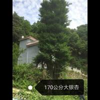 170公分大银杏(广西大银杏基地)