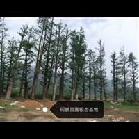 广西桂林银杏树基地