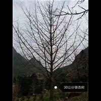 30公分银杏树☏广西银杏树基地