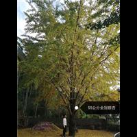 55公分全冠银杏_广西桂林全冠银杏树