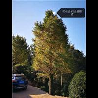 80公分5米分枝银杏✘广西银杏树