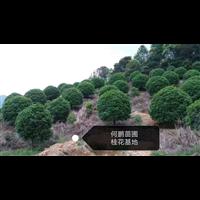 桂林专业种桂花树的基地