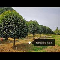 广西哪里种桂花树多