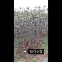 桂林桂花苗基地