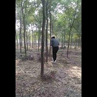 枣庄皂角树,山东皂角苗基地