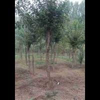 河北优质皂角树,皂角苗供应