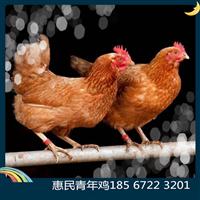 开封大量供应海兰褐青年鸡 开封60天海兰褐青年鸡