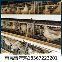 开封罗曼灰青年鸡养殖 开封罗曼灰青年鸡代养