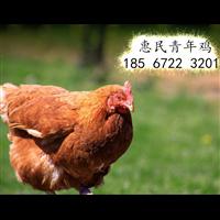郑州海兰灰青年鸡报价郑州60日龄海兰灰青年鸡报价