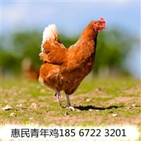郑州海兰褐青年鸡报价郑州各日龄海兰褐青年鸡报价签订合同